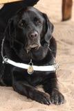 Schwarzer Blindenhund Lizenzfreies Stockfoto