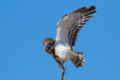 Schwarzer-breasted Schlangeadler Stockfotografie