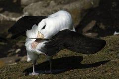 Schwarzer Browed Albatros Lizenzfreie Stockfotos
