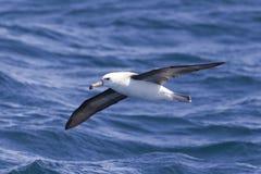 Schwarzer Browed Albatros Lizenzfreies Stockbild