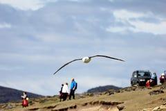Schwarzer Browed Albatros, der über Leute, thalassarche melanophris, Falkland Islands fliegt Stockfoto