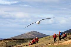 Schwarzer Browed Albatros, der über Leute, thalassarche melanophris, Falkland Islands fliegt Stockfotos
