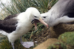 Schwarzer browed Albatros - Falklandinseln Lizenzfreie Stockfotos