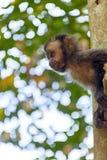 Schwarzer Capouchin-Affe Stockfoto