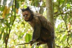 Schwarzer Capouchin-Affe Stockfotos