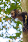 Schwarzer Capouchin-Affe Stockfotografie