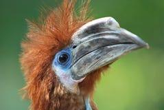 Schwarzer-casqued Hornbill Lizenzfreies Stockfoto