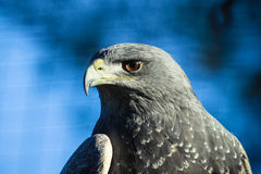 Schwarzer chested Bussard Eagle lizenzfreie stockfotos