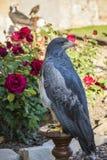 Schwarzer Chested Bussard Eagle auf einer Stange Nahe zu rosafarbenen Blumen Stockfotografie