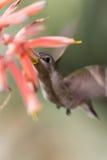 Schwarzer-chinned Kolibri Stockfoto