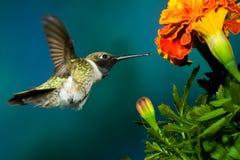 Schwarzer-Chinned Kolibri Stockbilder
