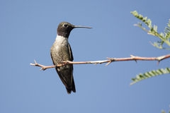 Schwarzer-chinned Kolibri (Archilochus alexandri) Stockfotografie