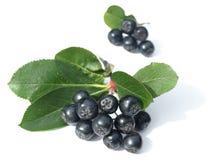 Schwarzer Chokeberry (aronia) Stockbild