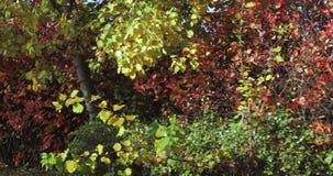 Schwarzer Chokeberry mit reifen Früchten stock video footage