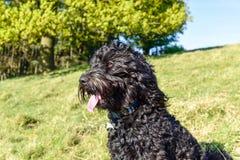 Schwarzer Cockapoo-Hundefrühlingstag Stockfotos
