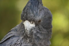 Schwarzer Cockatoo lizenzfreies stockfoto