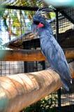 Schwarzer Cockatoo Lizenzfreies Stockbild