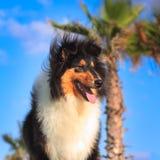 Schwarzer Colliehund auf dem Sonnenuntergang Lizenzfreie Stockfotos