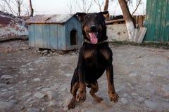 Schwarzer Dobermann, der auf der Kette zeigt Zähne und seinen Ärger bellt Stockfotos