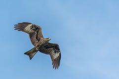 Schwarzer Drachen im Flug Stockfoto