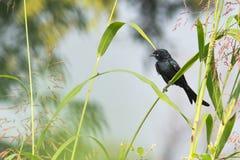 Schwarzer Drongo-Vogel Lizenzfreie Stockbilder