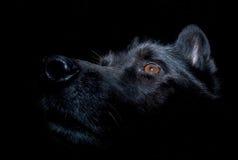 Schwarzer elsässischer Hund gegen dunklen Hintergrund Stockfotos