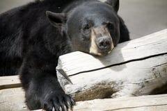 Schwarzer entspannender Bär Stockbild