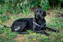 Schwarzer erwachsener Hund stockbilder