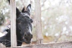 Schwarzer Esel hinter einem Zaun stockbild