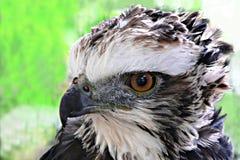 Schwarzer Falke-Adler Stockfoto