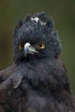 Schwarzer Falke-Adler (Spizaetus Tyrannus) Lizenzfreie Stockbilder