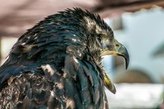 Schwarzer Falke mit dem Schnabel offen Lizenzfreies Stockfoto