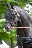 Schwarzer friesischer Pferdewagen, der das Geschirr im Freien fährt Stockfotos