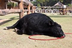 Schwarzer Galloway-Viehschlaf im Bauernhof lizenzfreies stockbild