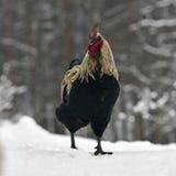 Schwarzer gekämmter Hahn der alten beständigen Zucht Hedemora von Schweden auf Schnee in der winterlichen Landschaft stockfotos