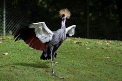 Schwarzer gekr?nter Kran, Balearica-pavonina im Zoo lizenzfreie stockbilder