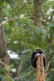Schwarzer Gibbon Lizenzfreies Stockbild
