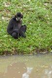 Schwarzer Gibbon Stockbild