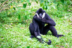 Schwarzer Gibbon im Zoo lizenzfreie stockfotos