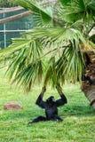 Schwarzer Gibbon im Zoo Lizenzfreie Stockbilder