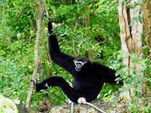 Schwarzer Gibbon mit der Laterne und Augenbraue, die auf einem Baum stillstehen Lizenzfreie Stockfotografie