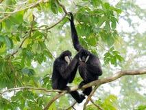 Schwarzer Gibbon mit der Laterne und Augenbraue, die auf einem Baum stillstehen und sich streicheln Stockfoto