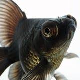 Schwarzer Goldfisch Lizenzfreie Stockfotos