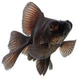 Schwarzer Goldfisch Stockbilder