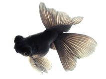Schwarzer Goldfish auf Weiß Stockbilder