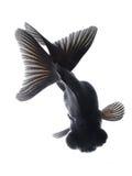 Schwarzer Goldfish getrennt auf weißem Hintergrund stockfotografie