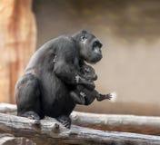 Schwarzer Gorilla Stockfotos