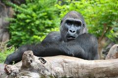 Schwarzer Gorilla Resting auf einem hölzernen Polen Stockfotografie