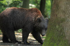 Schwarzer Graubär Stockfoto