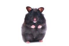 Schwarzer Hamster Stockbilder
